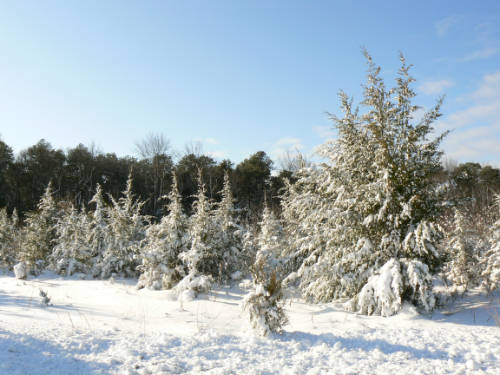 Snow-Covered Pines at Cape May National Wildlife Refuge. USFWS/public domain.