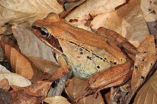 Wood Frog (Lithobates sylvaticus). Judy Gallagher, Wikimedia.