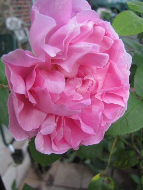 Mary Rose, David Austin Rose. Photo by Donna L. Long.