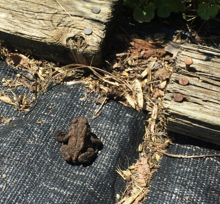 American Toad (Bufo americanus) in my community garden plot. The toad hides along the fence until I leave.
