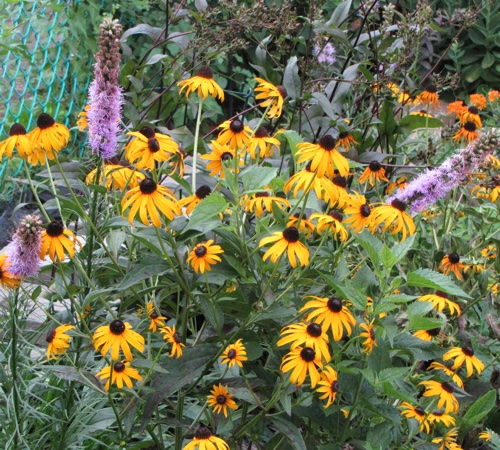 Summer blooming - Rudbeckia fulgida, Goldstrum and Liatris spicata or Blazing Star.