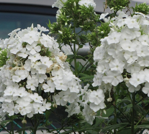Summer Phlox (Phlox paniculata) white variety. Photo by Donna L. Long.
