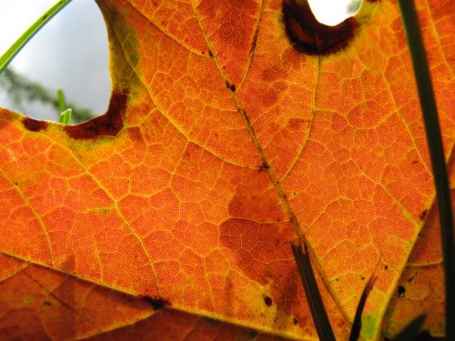 close up of maple leaf
