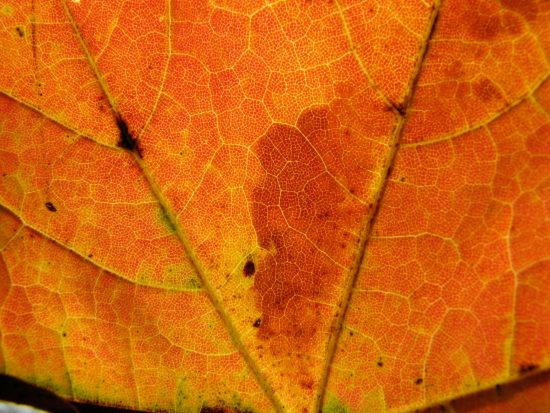 close up of autumn maple leaf with backlighting