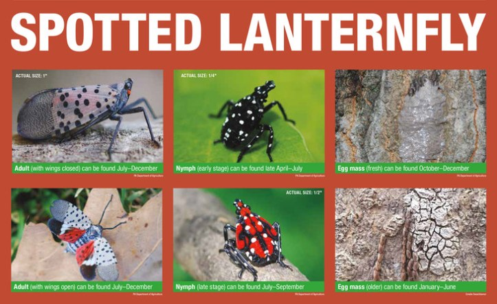 Spotted Lanterfly lifecycle_penn_state