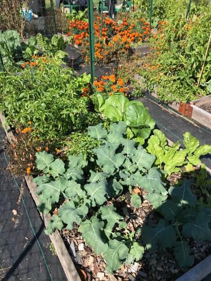 Collards greens in my garden.