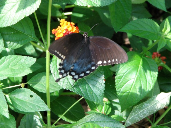 Adult Spicebush Swallowtail butterfly.