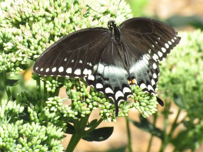 Adult Spicebush Swallowtail butterfly