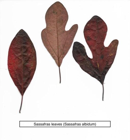 Sassafras leaves (Sassafras albidum)