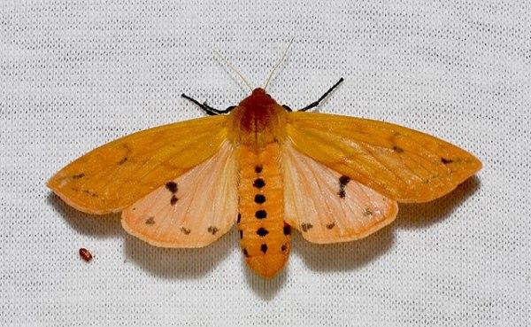 Adult Isabella Tiger Moth (Pyrrharctia isabella) adult Woolly Bear caterpillar