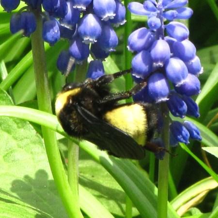 Bumble Bee and Grape Hyacinth