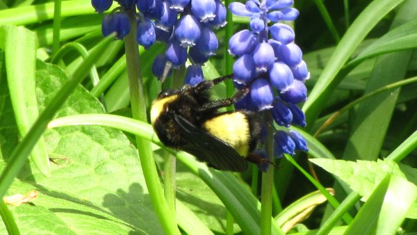 Bumble Bee and Grape Hyacinth