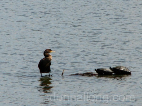 Great Cormorant (Phalacrocorax carbo) and turtles in a pond.