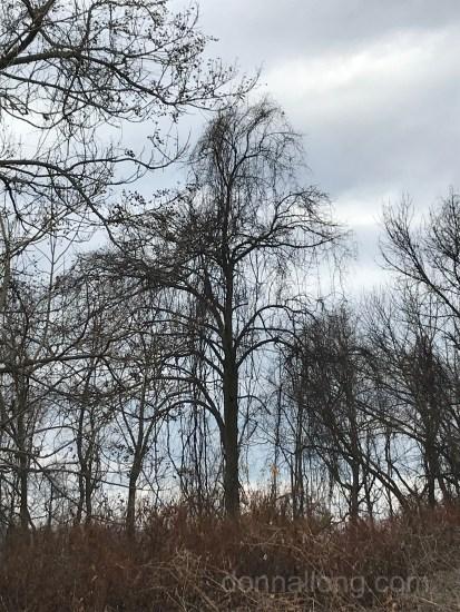 Tall Pine tree in a prine grove