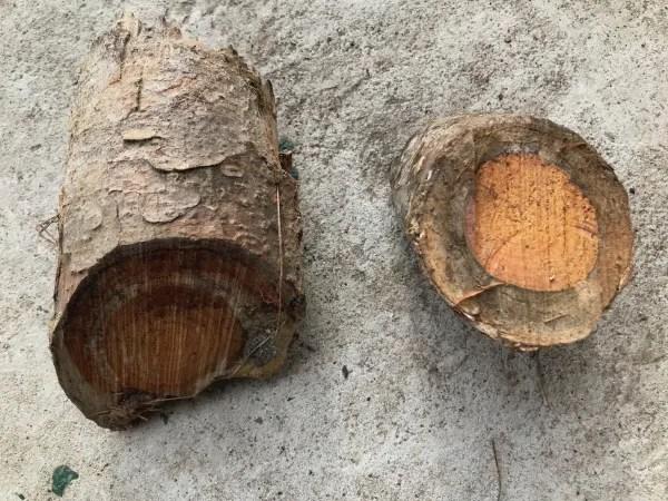 white pine tree bark and heart wood