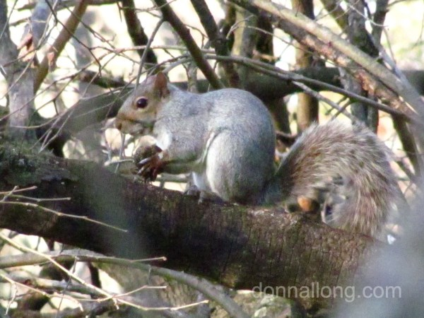 Squirrel eating nuts in a tree in winter