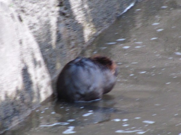 beaver in the Schuylkill River