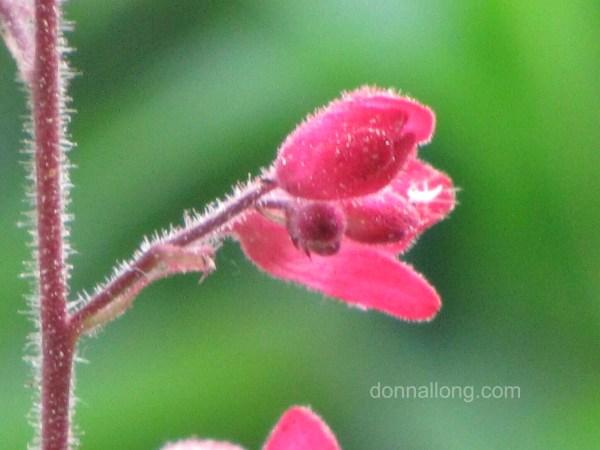 Coral Bells (Heuchera species)