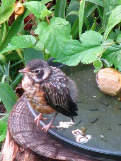 baby robin at bird bath