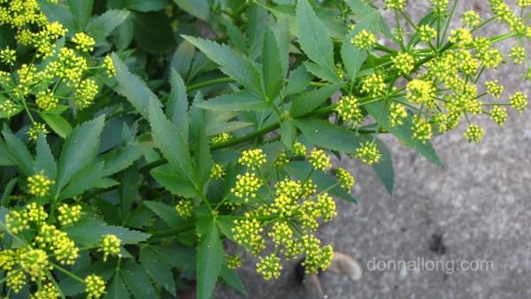 narrow leaves - Golden Alexander