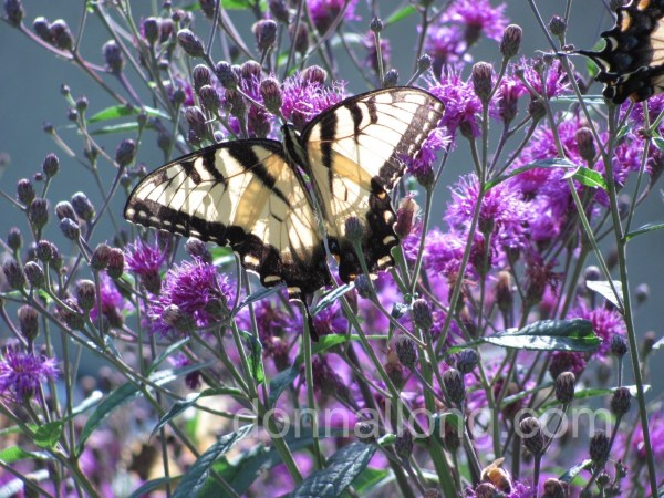 Tiger Swallowtail (Papilio glaucus) on Ironweed