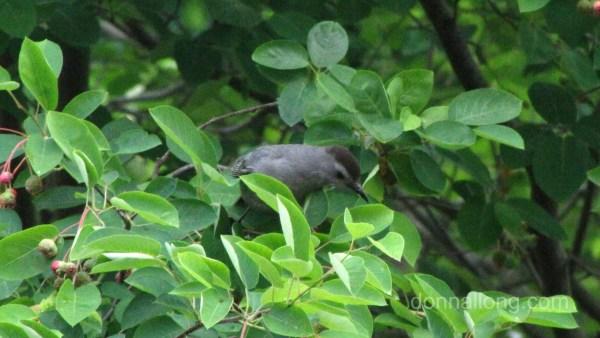 Gray Catbird eating shadbush berries