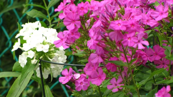 Summer Phlox in white and pink