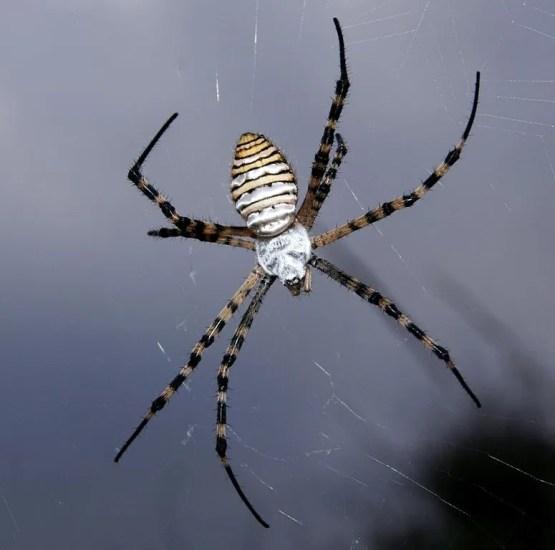 top oc Banded Garden Spider (Argiope_trifasciata)