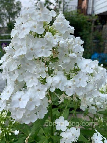 White Summer Phlox (Phlox paniculata)