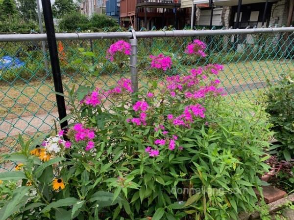 Pruned Summer Phloxes
