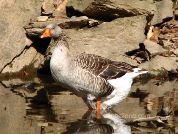 bird_goose