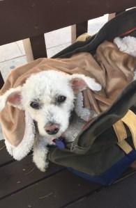bichon frise sitting in a dog carrier bag