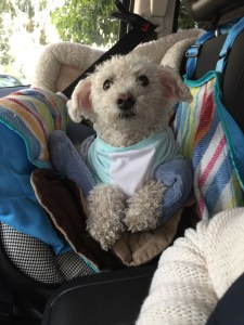 bichon frise in a tshirt sitting in a car seat