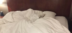Small dog in big bed