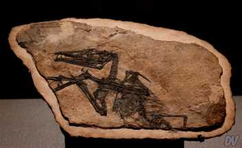 Fossile di Eudimorphodon.