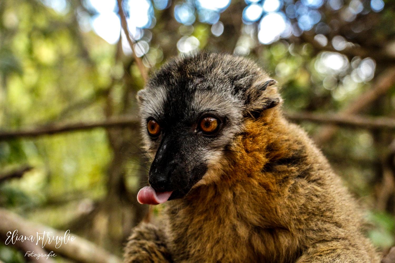Lemure fronte rossa