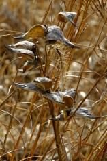 Milkweed grey and amber grasses