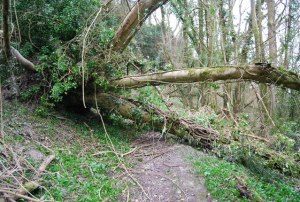 Photo of tree across footpath.