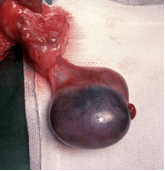 intra-operative photo- ischaemic testis awaiting reperfusion