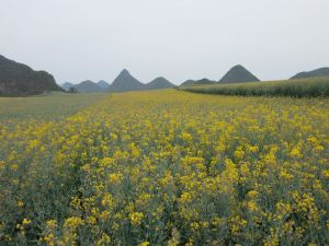 yellow fields in luoping yunnan china
