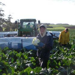 Jonny Blair's travel blog harvesting cauliflower at Ambleside Farm in Tasmania