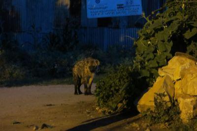hyena feeding harar ethiopia