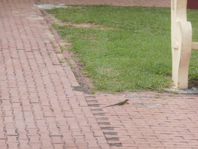 A lizard on the streets of Iracoubo.