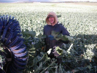 Broccoli Harvesting in Poatina, Tasmania