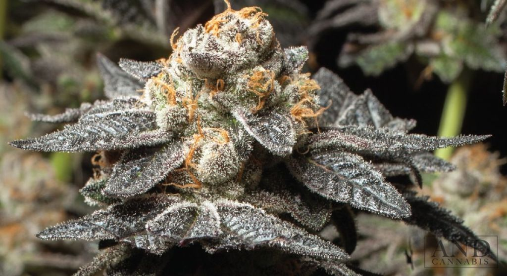 Girl Scout Cookies - from AndCannabis