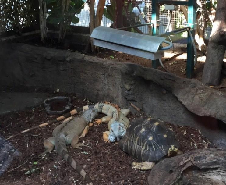 Skildpadder og leguaner