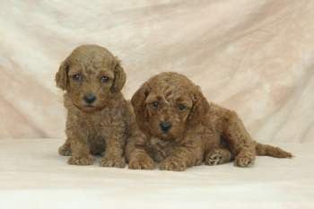 red moyen poodle puppies for sale