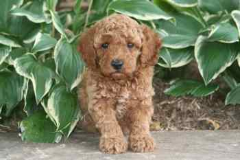 moyen poodle puppy for sale