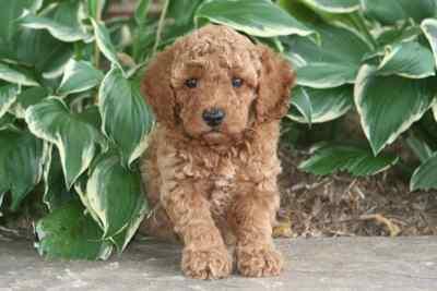 moyen poodle puppy for sale
