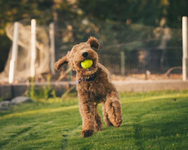 Playful Irish Goldendoodle Loves to engage with family for google index